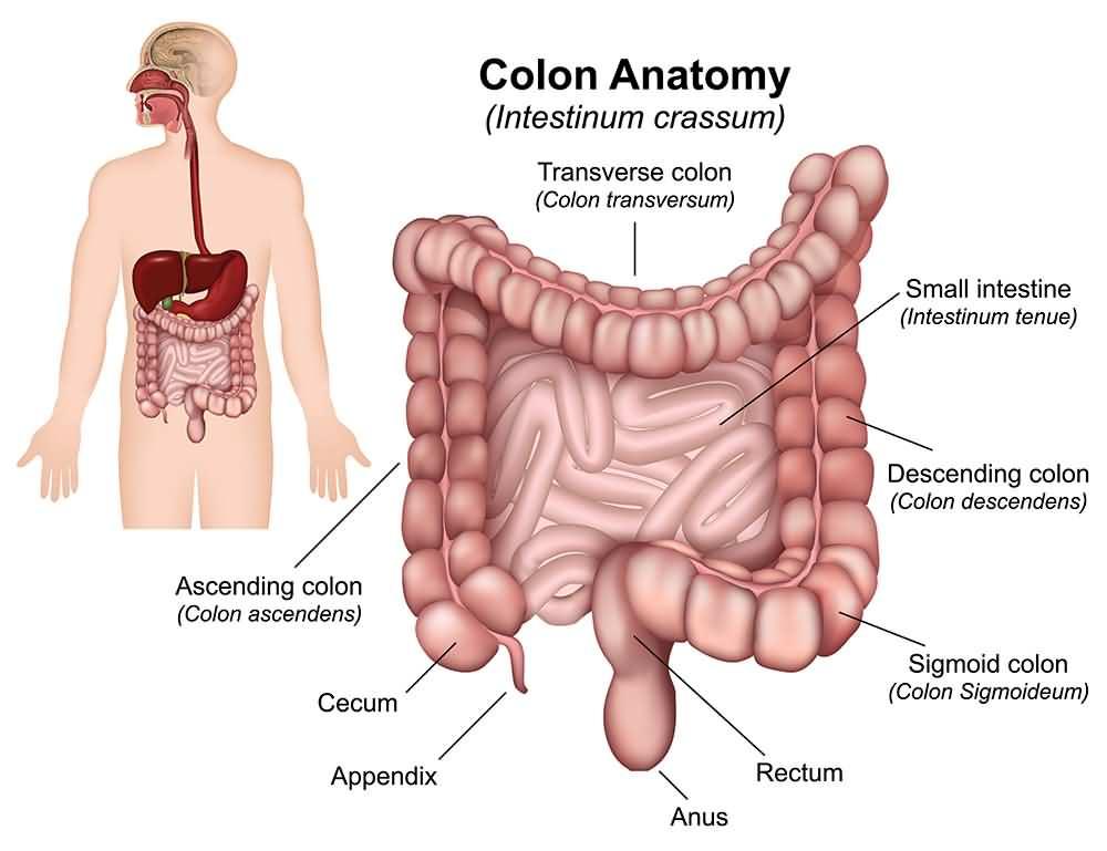Colon Anatomy (Intestinum crassum)