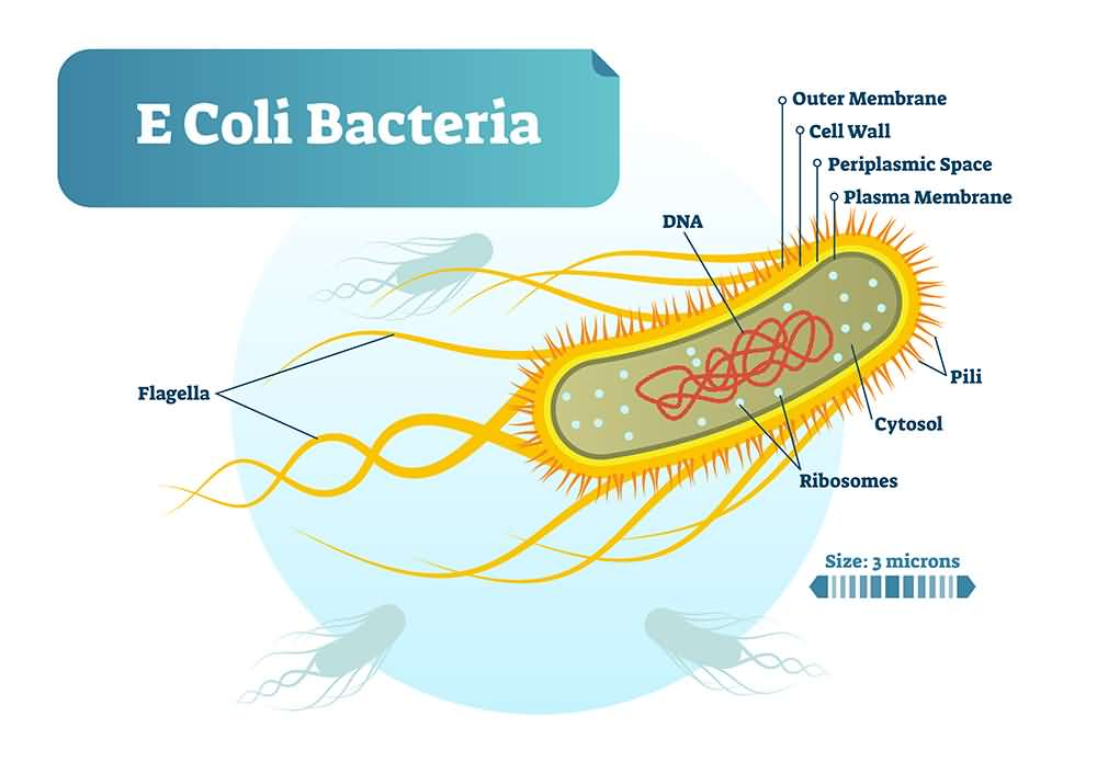 Bacterial meningitis causes, E. coli bacteria